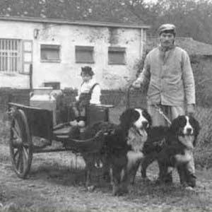 berner sennen geschiedenis boeren hond