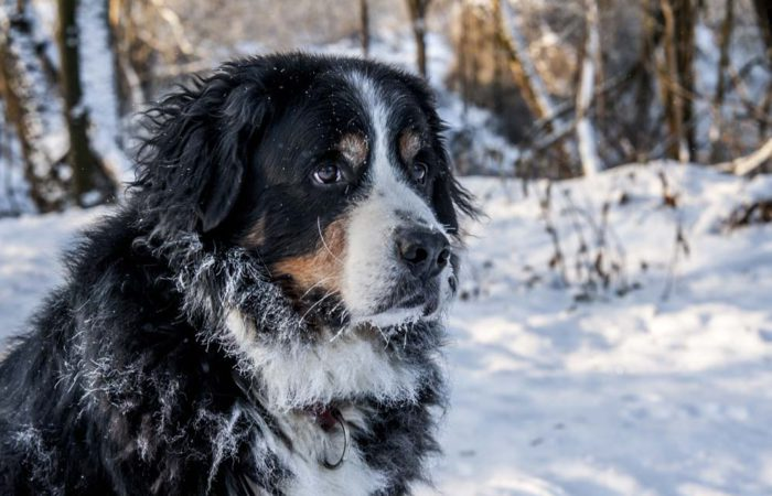berner sennen in de sneeuw
