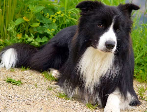 border collie featured image