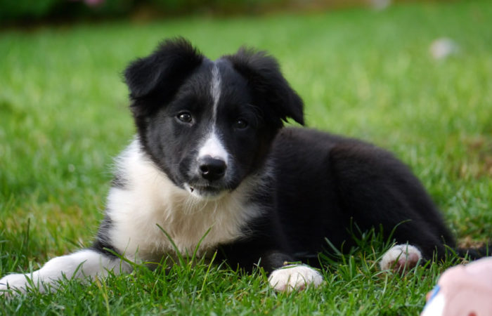 border collie puppy in het gras