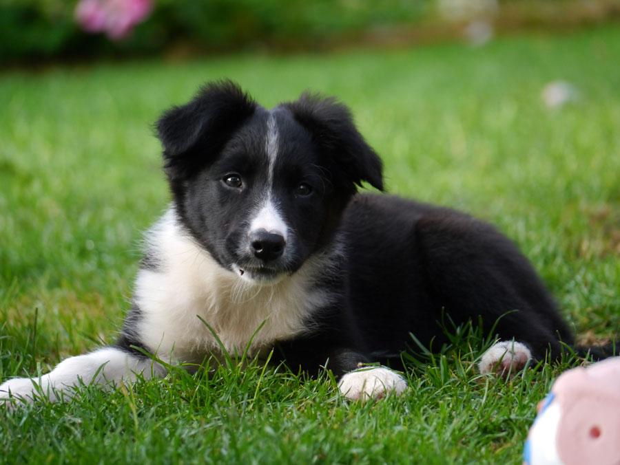 border collie puppy in het gras