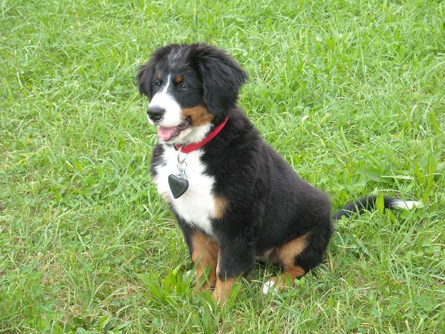 jonge berner sennen puppy