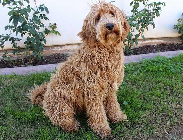 Labradoodle hondenras