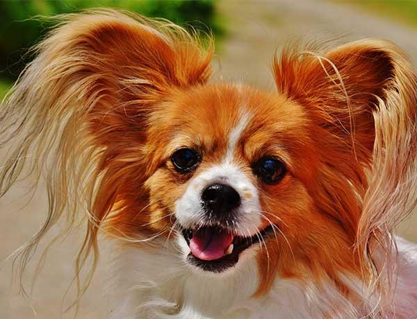 chihuahua hondenras
