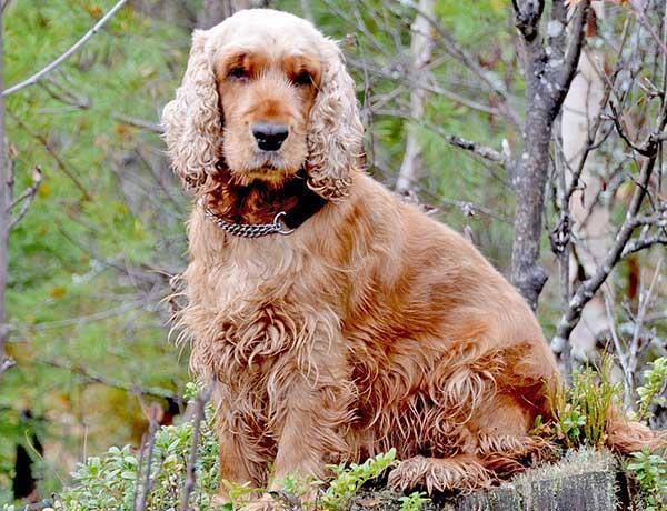 cocker spaniel hondenras