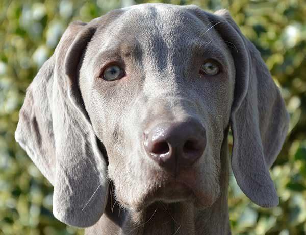 Weimaraner (Weimarse Staande hond)