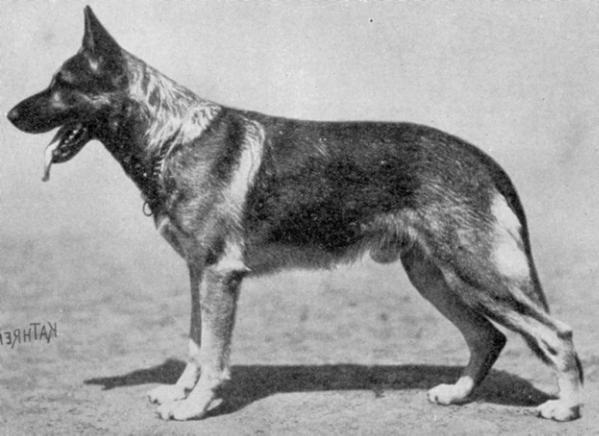 Geschiedenis Duitse Herder