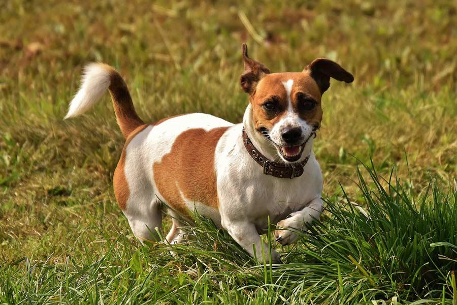 bruin witte jack russell loopt in hoog gras