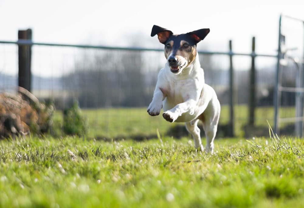 jack russell springend in veld
