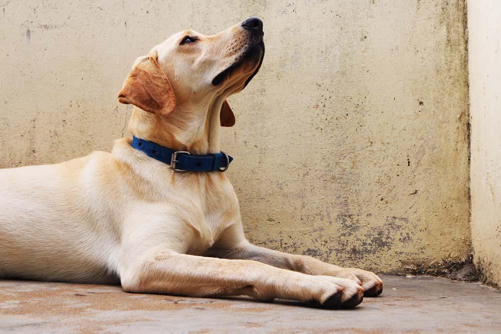 labrador retriever wit kijkt omhoog