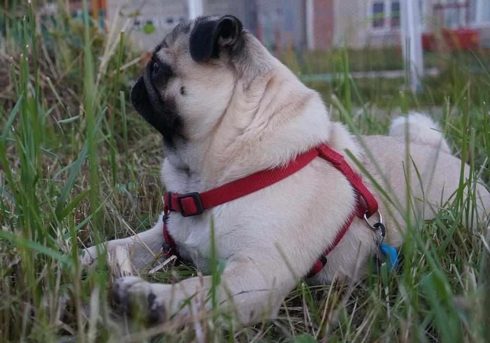 mopshond liggend in het gras