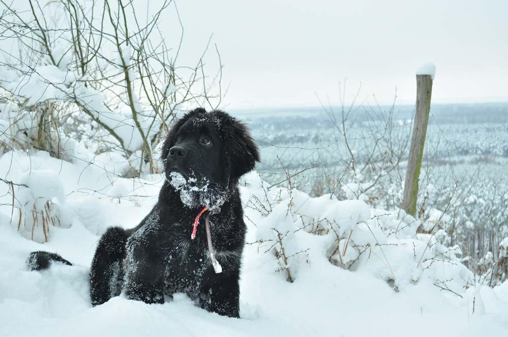 newfoundlander in de sneeuw