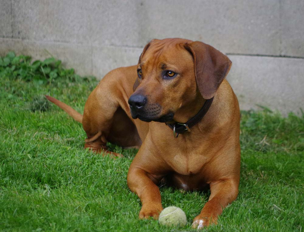puppy rhodesian ridgeback teefje