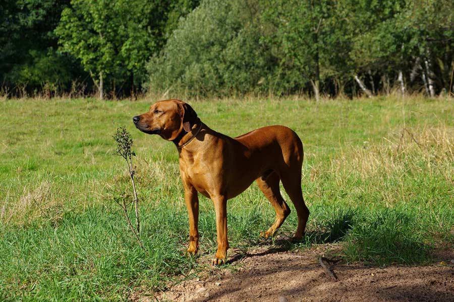 rhodesian ridgeback op een veld starend in de verte