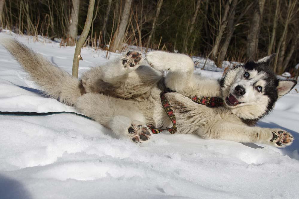 siberische husky rollend in de sneeuw