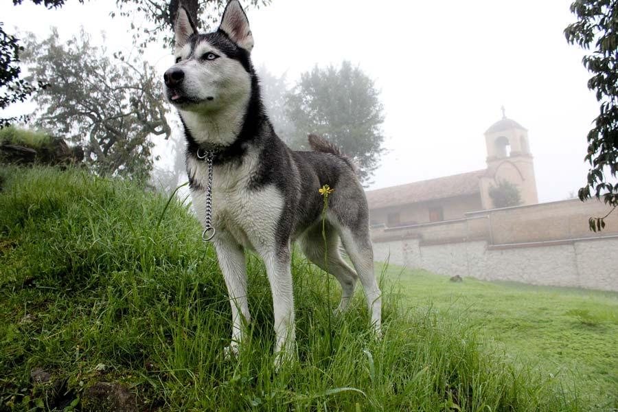 siberische husky staat op een grasheuvel