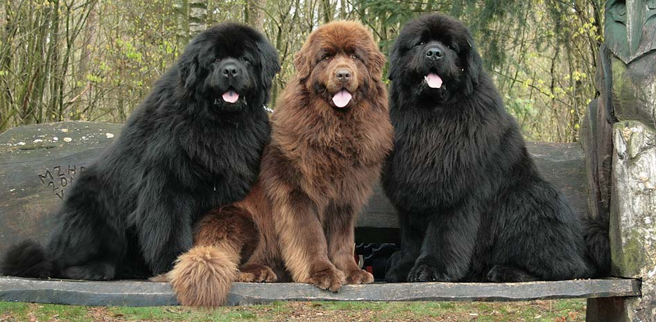 twee zwarte en een bruine newfoundlander op een bank