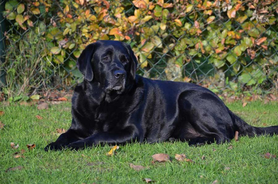 zwarte labrador retriever in het gras