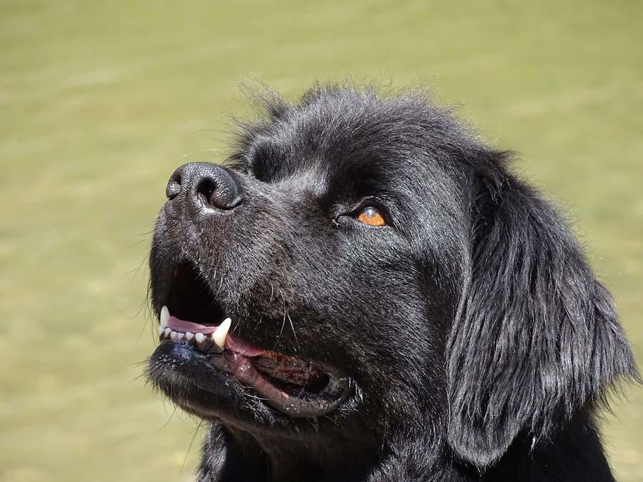 zwarte newfoundlander puppy kijkt omhoog
